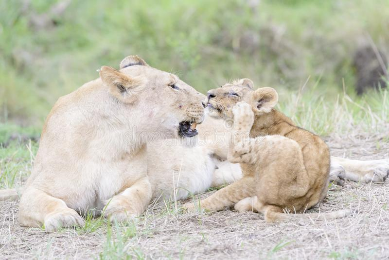 Lioness with her cubs lying on savannah, Maasai Mara, Kenya stock images