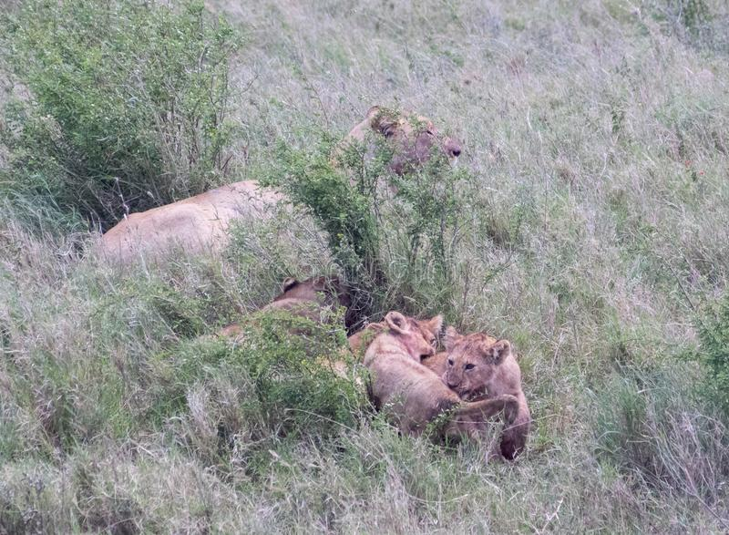 A Lioness and Her Cubs. In Serengeti National Park royalty free stock photography