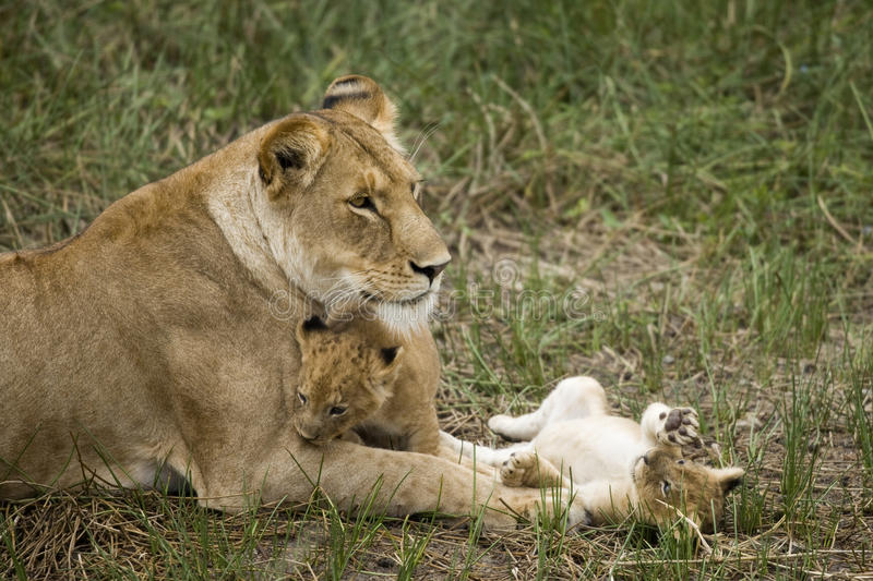 Lioness and her cubs in Serengeti, Tanzania. Africa royalty free stock photo