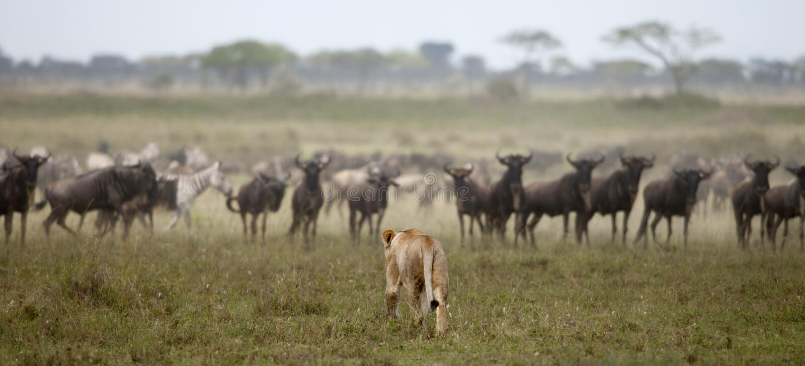Download Lioness And Herd Of Wildebeest At The Serengeti Stock Image - Image: 21159971