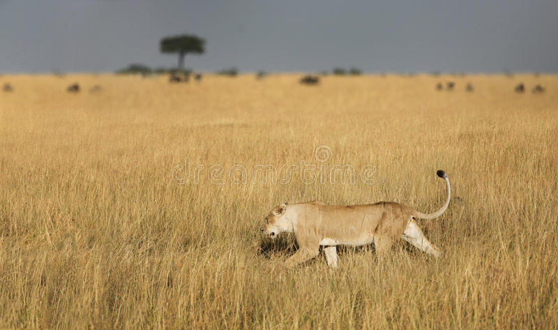 Download Lioness hunting stock image. Image of ferocious, eyes - 10836441