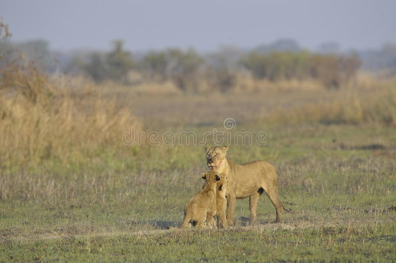 Lioness after hunting with cubs. The lioness with a blood-stained muzzle has returned from hunting to the kids to young lions royalty free stock photography