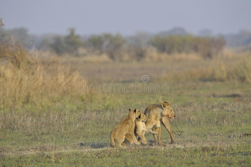 Lioness after hunting with cubs. The lioness with a blood-stained muzzle has returned from hunting to the kids to young lions stock photos