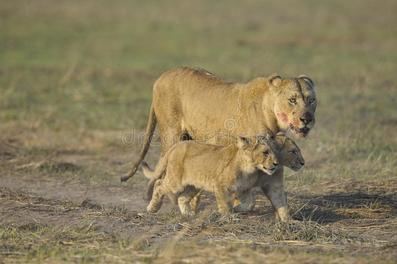 Lioness after hunting with cubs. The lioness with a blood-stained muzzle has returned from hunting to the kids to young lions royalty free stock image