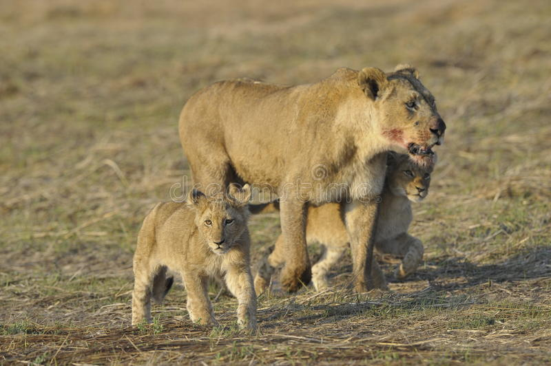 Lioness after hunting with cubs. The lioness with a blood-stained muzzle has returned from hunting to the kids to young lions stock photography