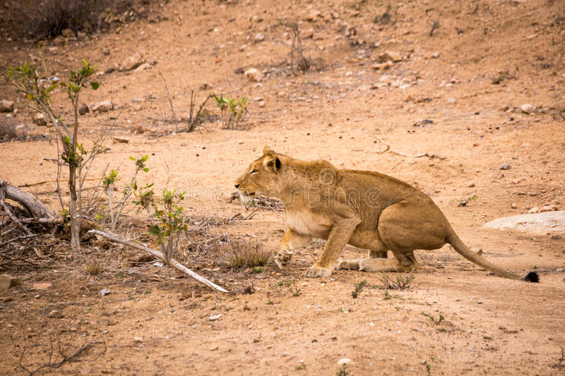 Lioness Hunting in Kruger National Park, South Africa royalty free stock photos