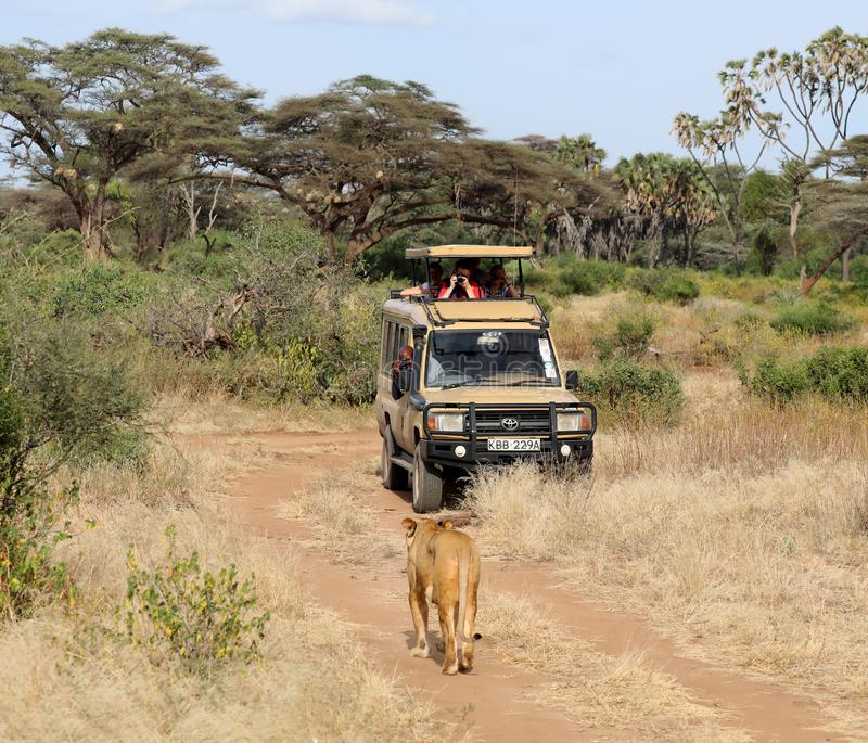 Lioness in kenya near 4x4 safari vehicle stock image