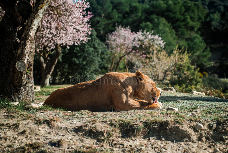 Lioness lie on a ground royalty free stock photo