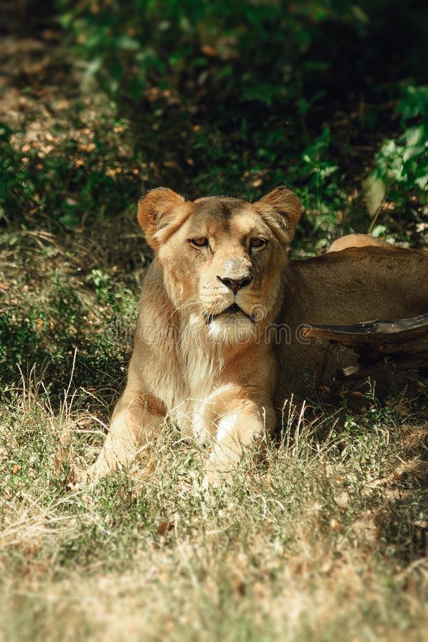 Lioness lies in the grass in the shadow. stock image