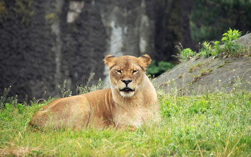 The lioness lies looking straight into the lens, royalty free stock photography