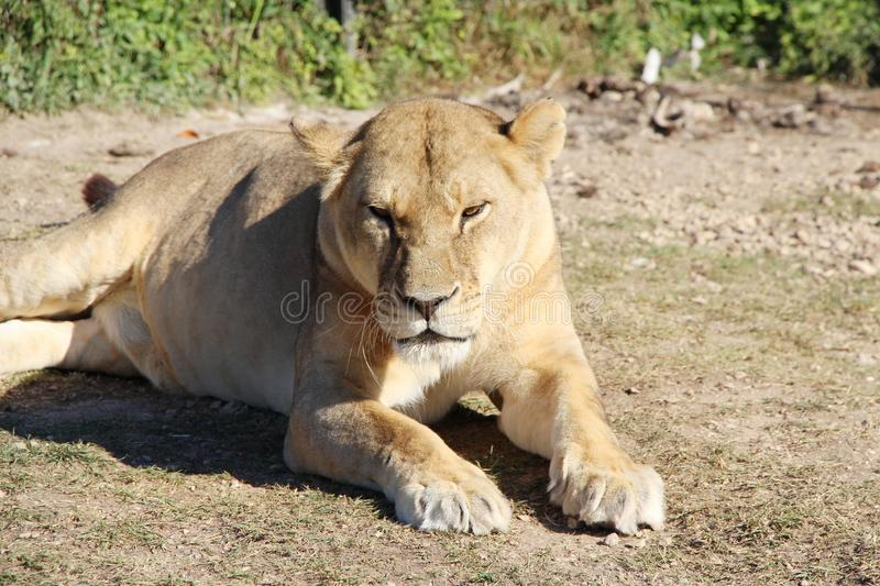 Lioness lies and rests on the ground stock photography