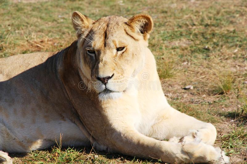 Lioness lies and rests on the ground stock photo
