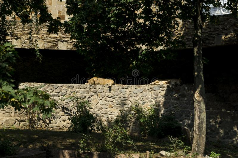 The lioness lies in the sun stock photography