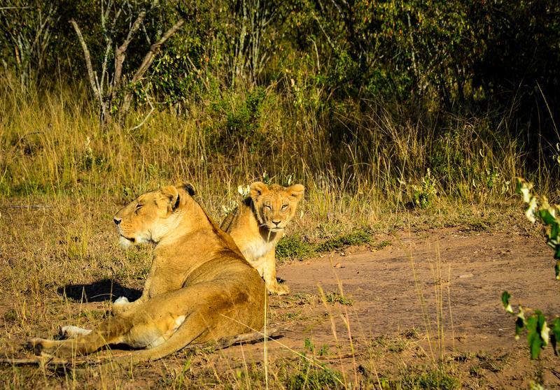 Lioness and Lion Cub Lying on Brown and Green Grass at Daytime royalty free stock images