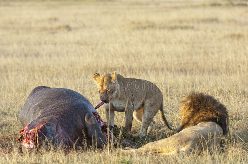 Download Lioness And Lion On Hippo Kill Stock Photo - Image: 8481542