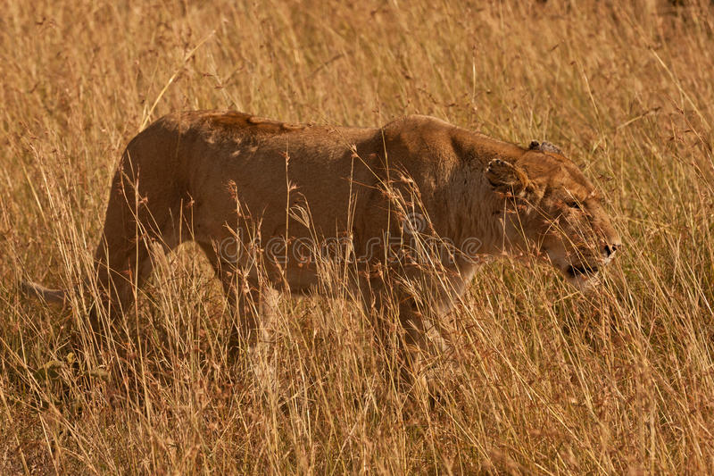 Download Lioness in long grass stock image. Image of outside, mammal - 24876181