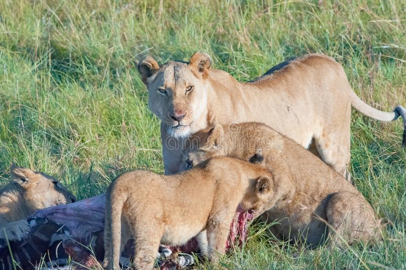 Watchful lioness watching out feeding of cubs in Serengeti, Tanzania, Africa, lion alert, lioness alerting. Lioness looking out while cubs are feeding the catch royalty free stock photo