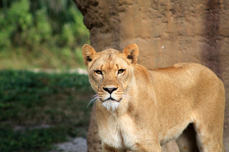 Lioness making eye contact stock photography