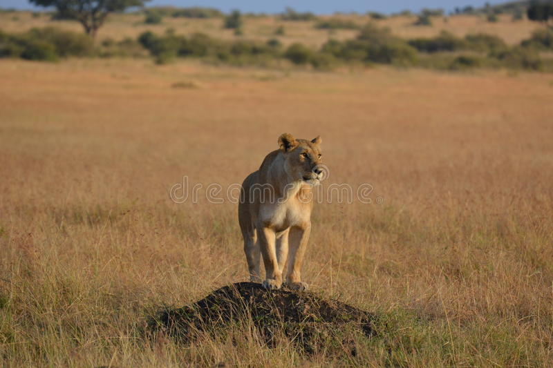Lioness on the lookout stock image