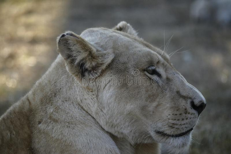 Lioness lounging in the Sun. A Lioness lounging in the Sun in the South African plains royalty free stock photos