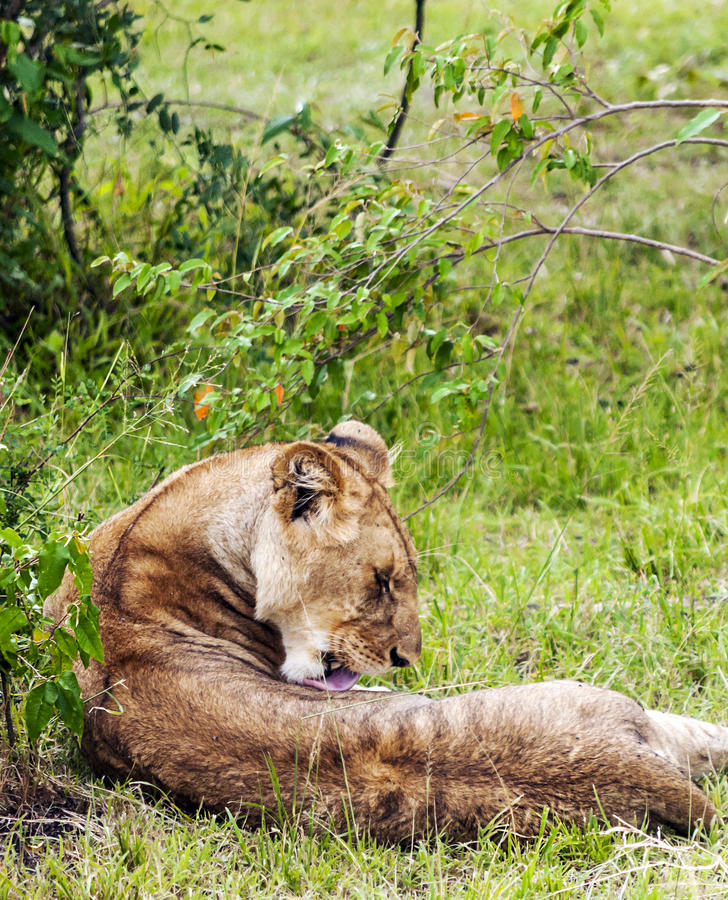 Lioness lounging. By the trees, is a vertical picture taken in Kenya stock photos