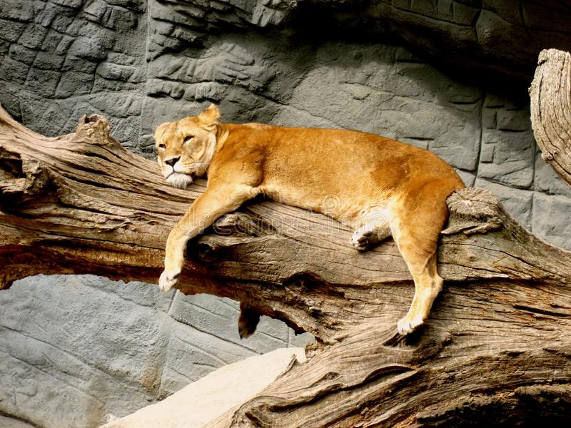Lioness Lying on Brown Tree Trunk stock image