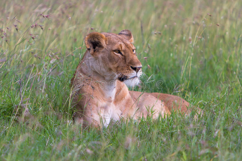 Download Lioness stock photo. Image of look, lioness, aggressive - 37754170