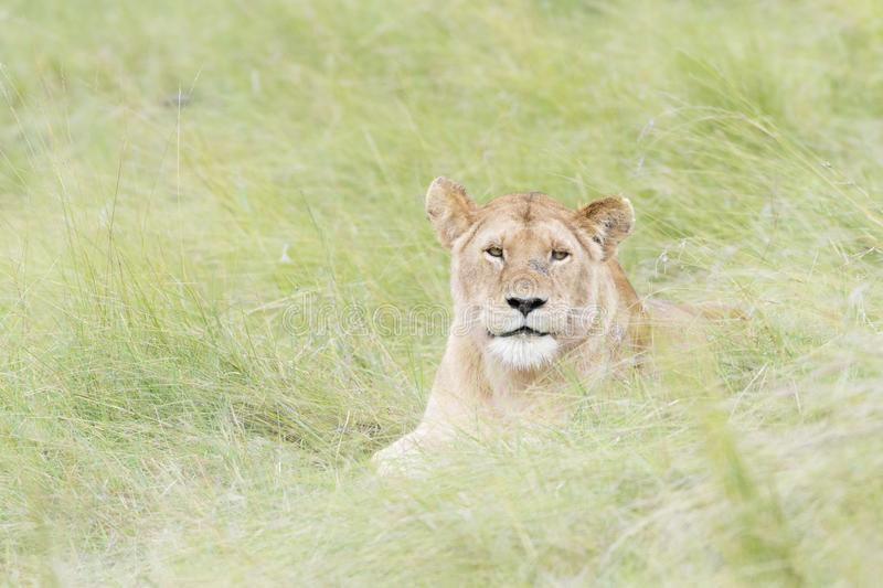 Lioness lying down on savannah, close-up royalty free stock photo