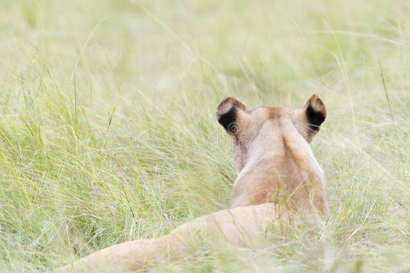 Lioness lying down on savannah, close-up stock images