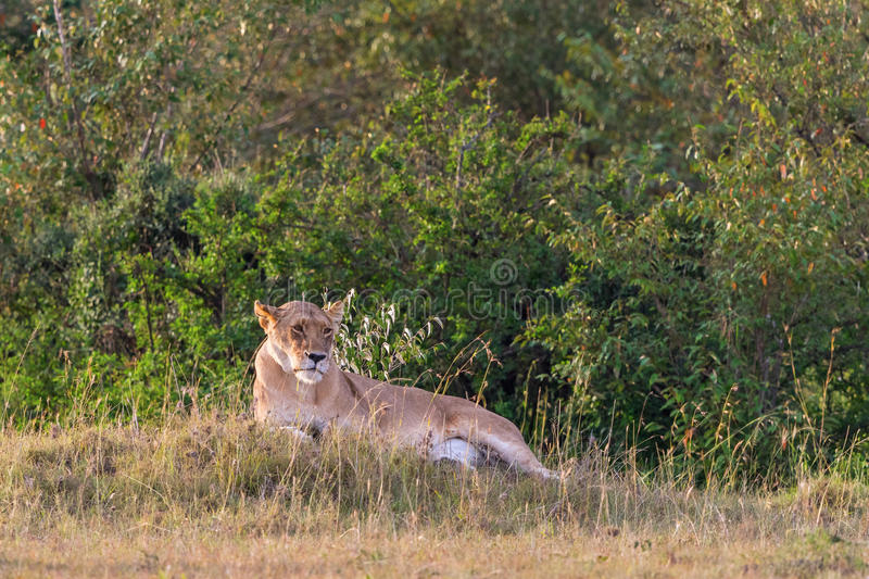 Lioness lying down royalty free stock photos