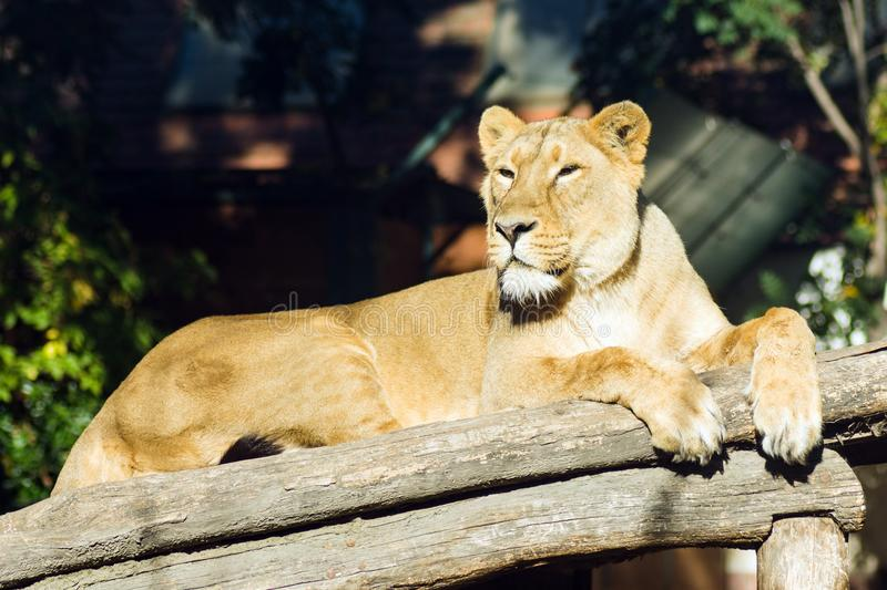 Lying lioness in Zoo stock images