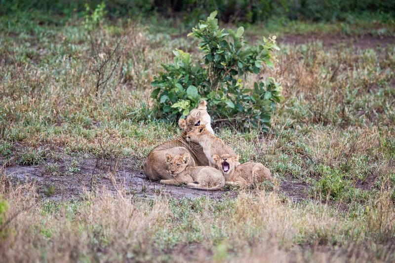 Lioness and three small cubs. A lioness is lying on the grass with three of her small cubs in front of her. The one is looking into the distance, the other royalty free stock images