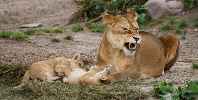 Lioness with cubs. A lioness lying on the ground with her cubs royalty free stock photography