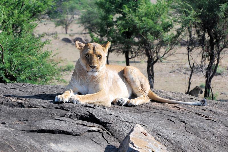 Lioness lying on a rock looking in the camera. Lioness lazy lying on a rock looking in the camera - Serengeti National Park - Tanzania stock photo