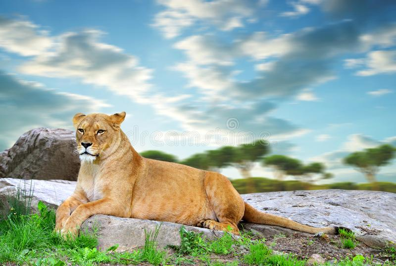 Lioness lying on a rock. stock images
