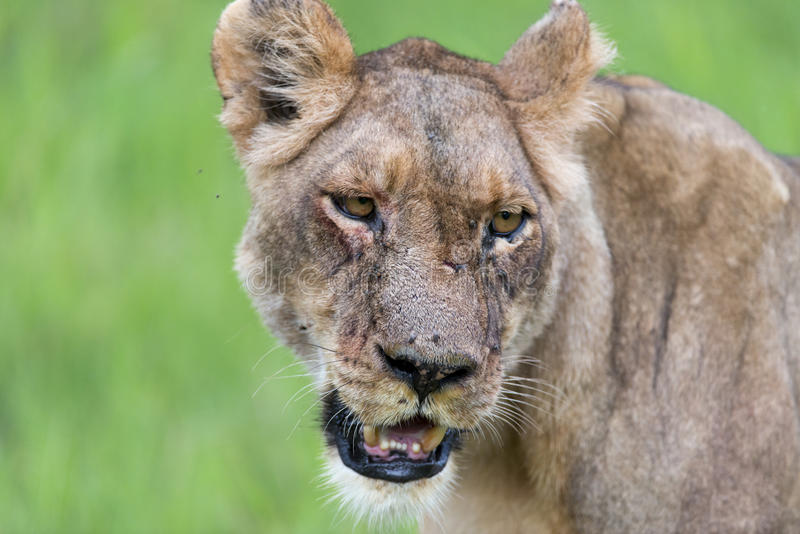 Download A Lioness In The Morning (portrait) Stock Image - Image: 28452561