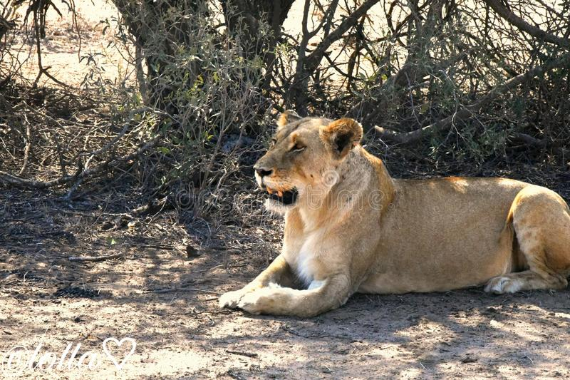 Lioness my Queen royalty free stock photo