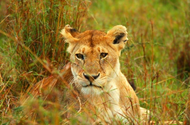 Lioness nel selvaggio fotografia stock