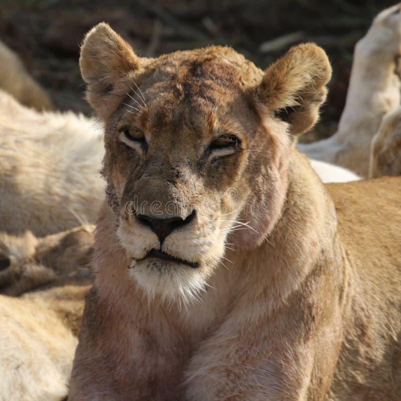 Lioness nella sosta nazionale di Kruger fotografie stock libere da diritti