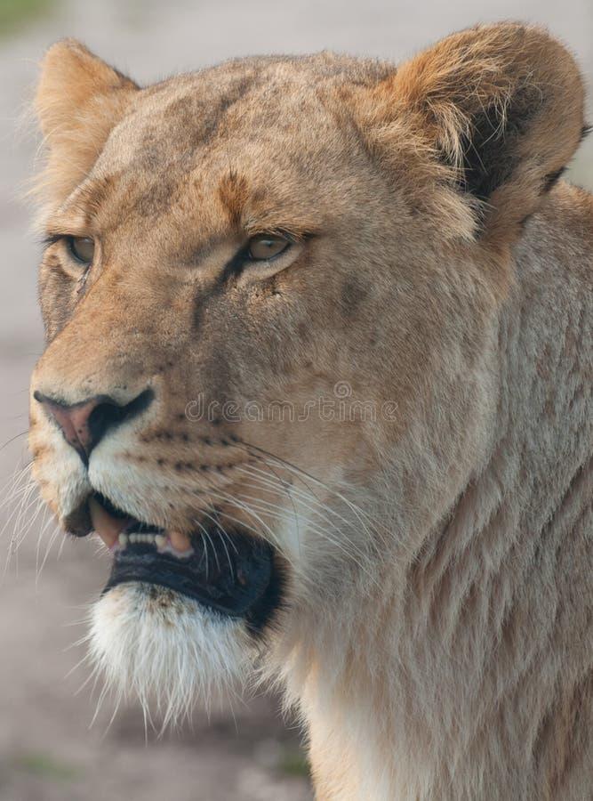 Lioness nelle Midlands ad ovest fotografia stock libera da diritti