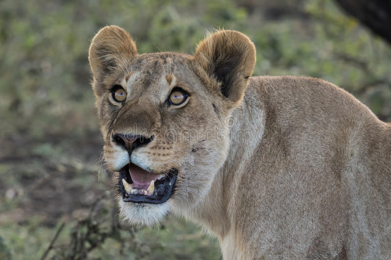 Lioness observing a drone flying overhead. A pride of lions was fast asleep after feasting on a wildebeest. Suddenly there was a whirring sound in the air and royalty free stock images