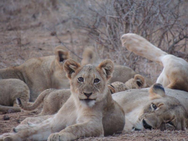 Lioness och gröngöling royaltyfria bilder