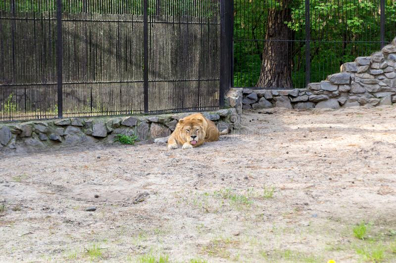 Lioness with orange and white wool lies royalty free stock photography