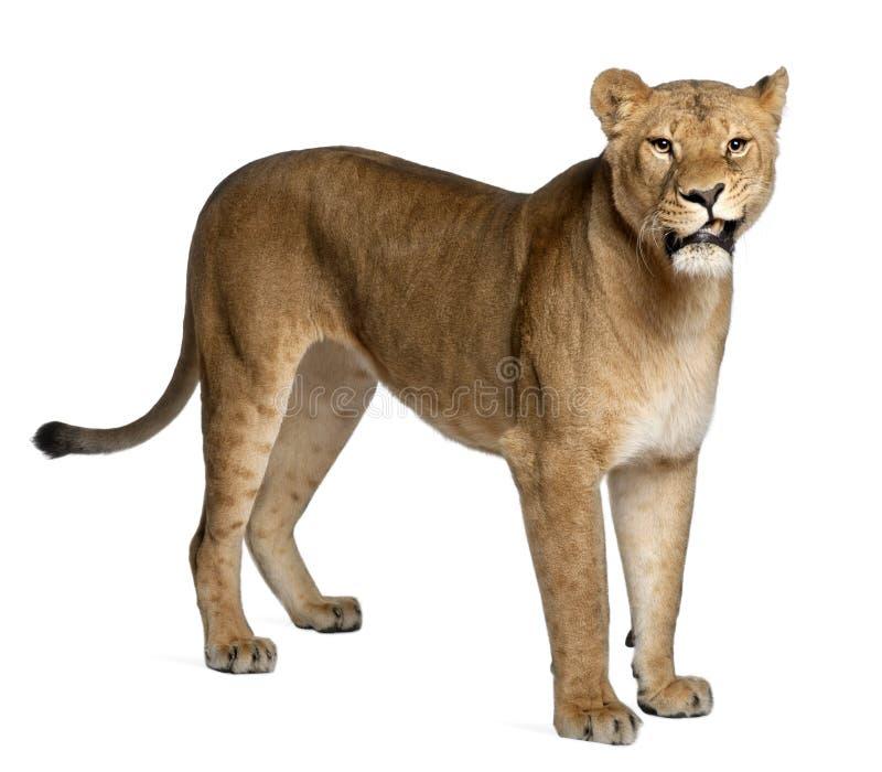 Lioness, Panthera leo, 3 anni, levantesi in piedi fotografia stock