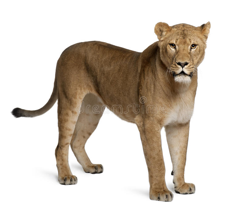 Lioness, Panthera leo, 3 anni, levantesi in piedi fotografie stock