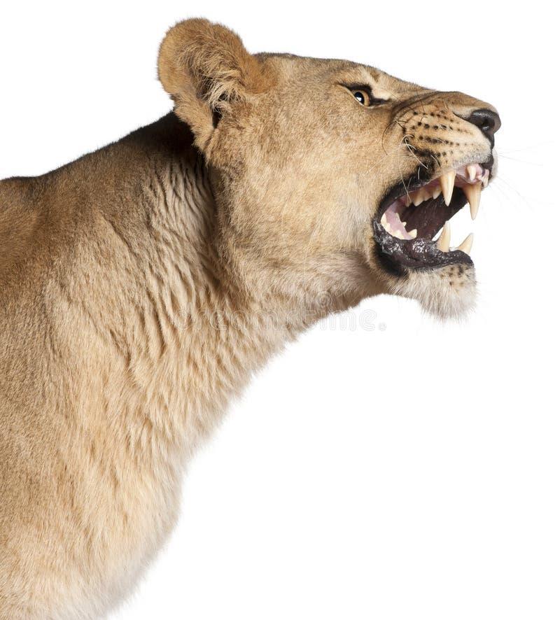 Lioness, Panthera leo, 3 anni, ringhianti immagini stock libere da diritti