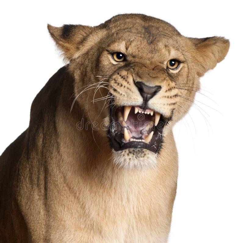 Lioness, Panthera leo, 3 anni, ringhianti fotografia stock