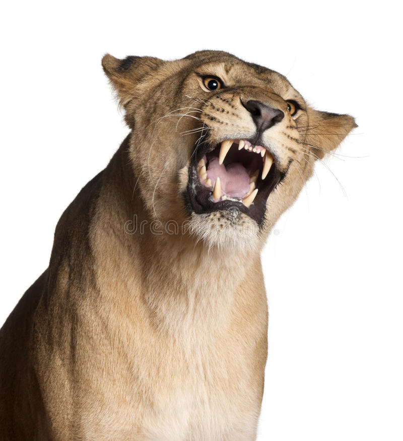 Lioness, Panthera leo, 3 years old, snarling stock photos
