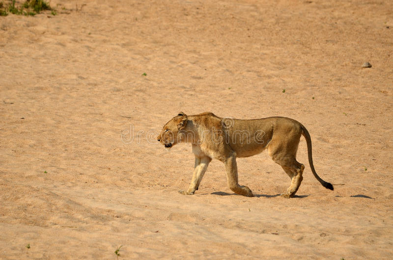 Lioness (Panthera leo) immagini stock