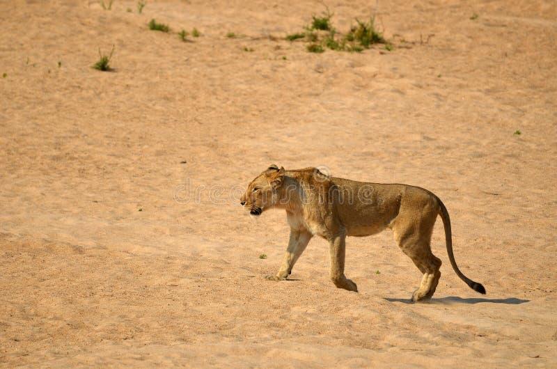 Lioness (Panthera leo) fotografia stock libera da diritti